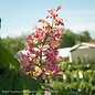 #5 Aesculus x 'Fort Mcnair'/Horse Chestnut