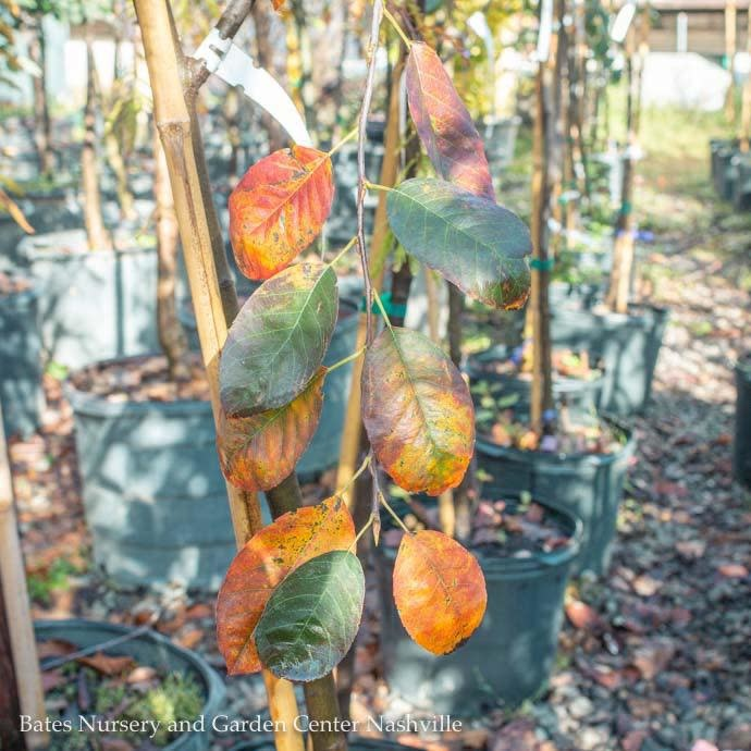 #7 Amelanchier laevis/Allegheny Serviceberry