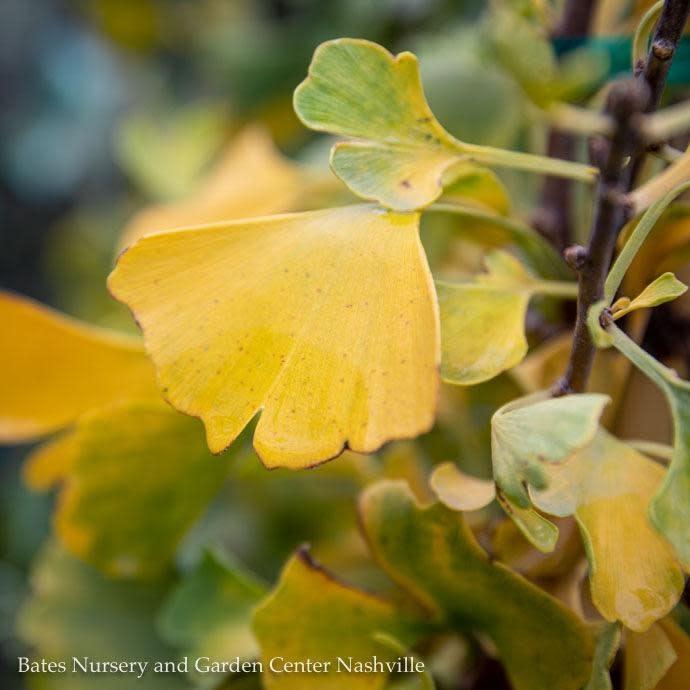 #7 Ginkgo biloba Autumn Gold/Maidenhair Tree (Male)