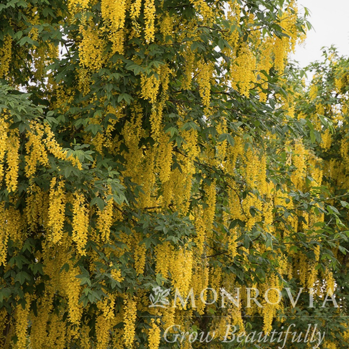 #5 Laburnum x 'Vossii'/Golden Chain Tree