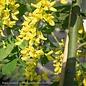 #5 Laburnum x 'Vossii'/Golden Chain Tree