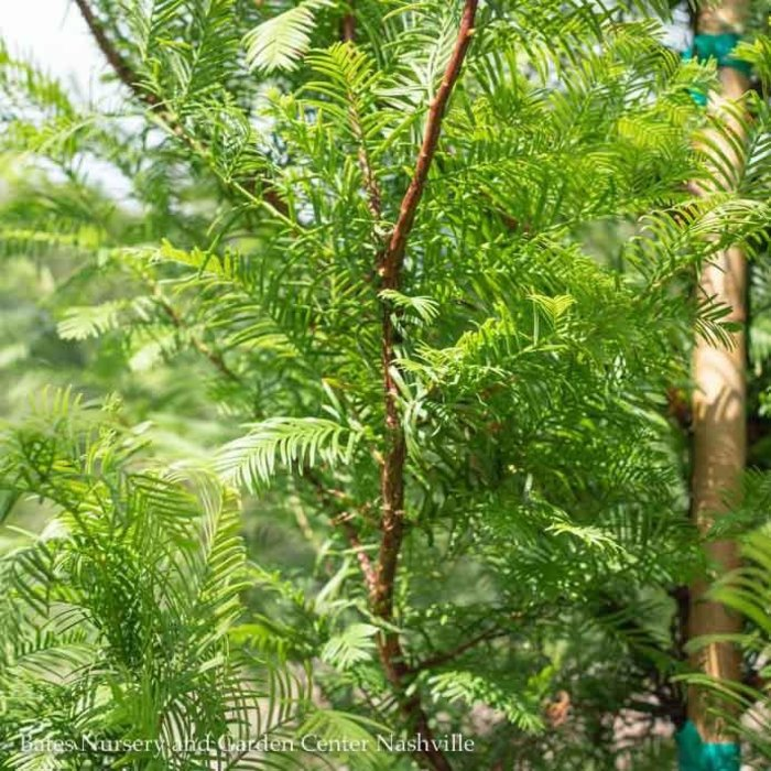 #15 Metasequoia glyptstroboides/Dawn Redwood