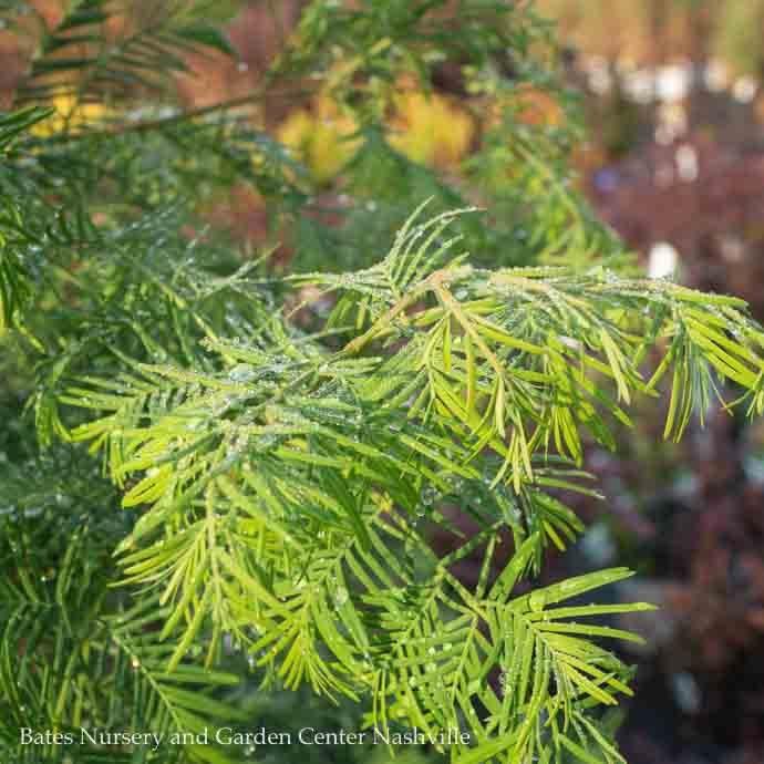 #15 Metasequoia glyptstroboides/Dawn Redwood