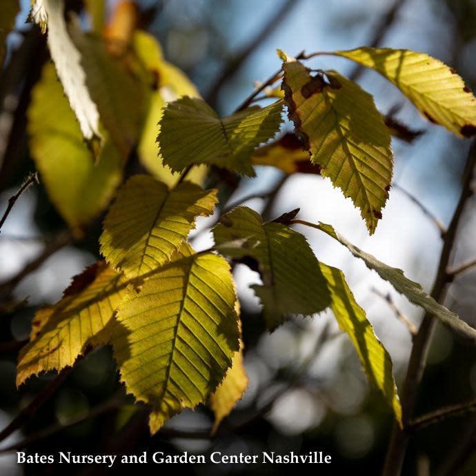 "#25 Carpinus betulus Fastigiata/European Hornbeam Pyramidal 2"" caliper"