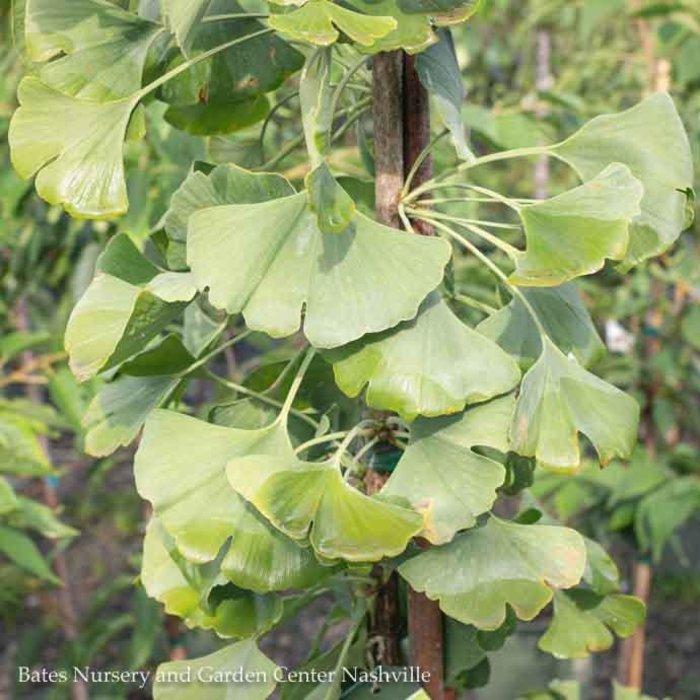 #5 Ginkgo biloba Princeton Sentry/Maidenhair Tree (Male)