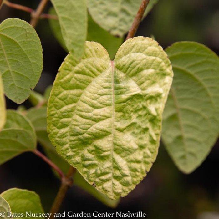 #6 Cercidiphyllum japonicum Claim Jumper/Katsura