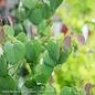 #6 Cercidiphyllum japonicum Red Fox/Katsura