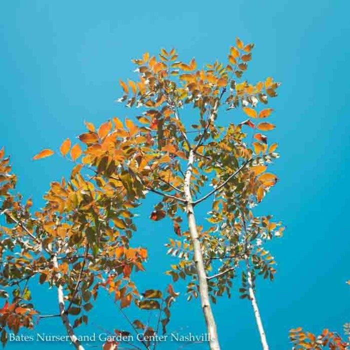 #25 Pistacia chinensis/Chinese Pistache