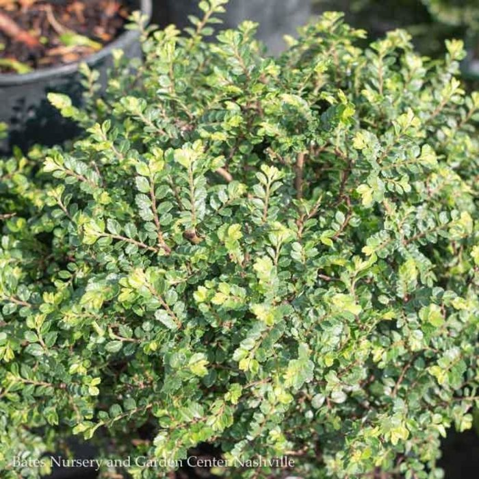 #3 Ulmus parviflora Seiju/Chinese Elm Lacebark Dwarf