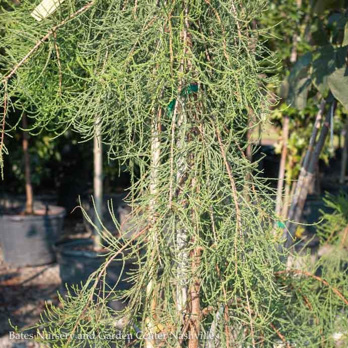 #15 Taxodium distichum 'Rise and Fall'/Weeping Bald Cypress