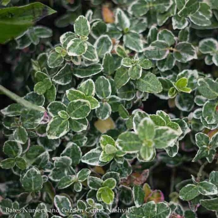 #2 Euonymus fortunei 'Emerald Gaiety'/Variegated Wintercreeper