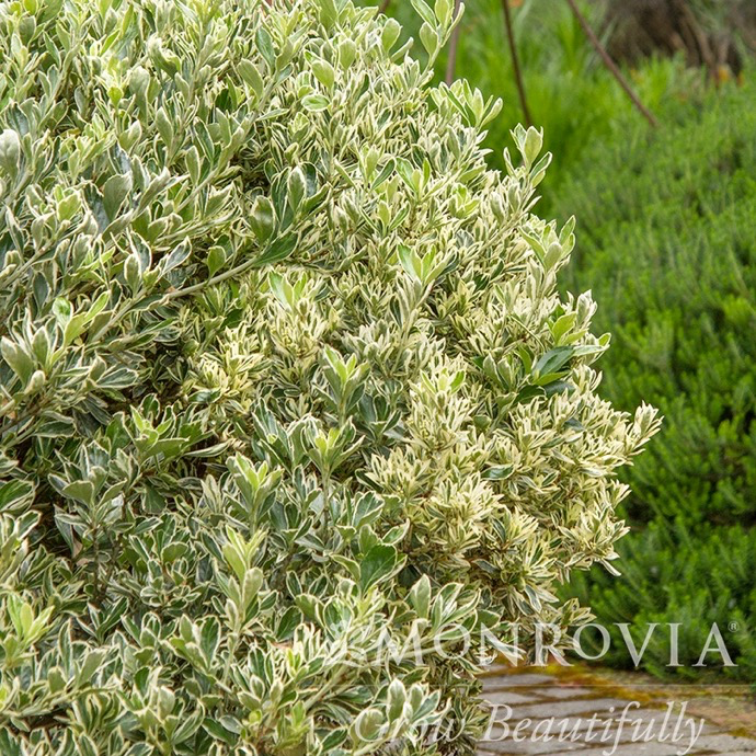#1 Euonymus japonicus Silver Princess/Variegated Boxleaf
