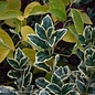#2 Euonymus japonicus Silver King/Variegated