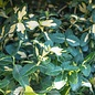 #1 Euonymus f. Moonshadow/Variegated Wintercreeper