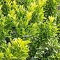 #5 Euonymus j Green Spire/Upright