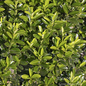 #2 Euonymus japonicus 'Microphyllus' /Boxleaf Green