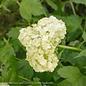 #1 Viburnum opulus Sterile/Old Fashioned Eastern Snowball