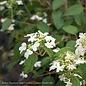 #5 Viburnum Summer Snowflake