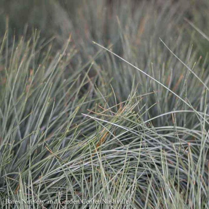 QP Grass Festuca glauca Elijah Blue/Fescue