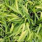 #1 Grass Hakonechloa mac All Gold/Japanese Forest