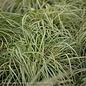 #1 Grass Carex morr Aurea Variegata/Japanese Sedge