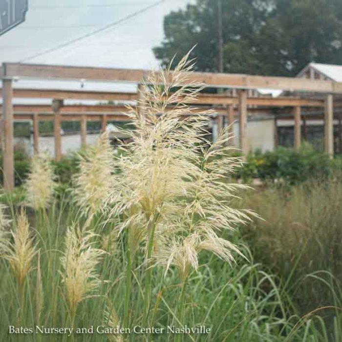 #1 Grass Cortaderia sel Pumila/Ivory Feathers Dwarf Pampas No Warranty