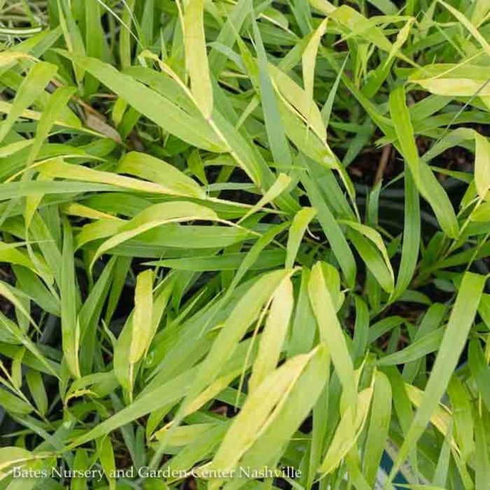 QP Grass Hakonechloa mac All Gold/Japanese Forest