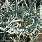 #1 Grass Elymus aren Blue Dune/Blue Lyme