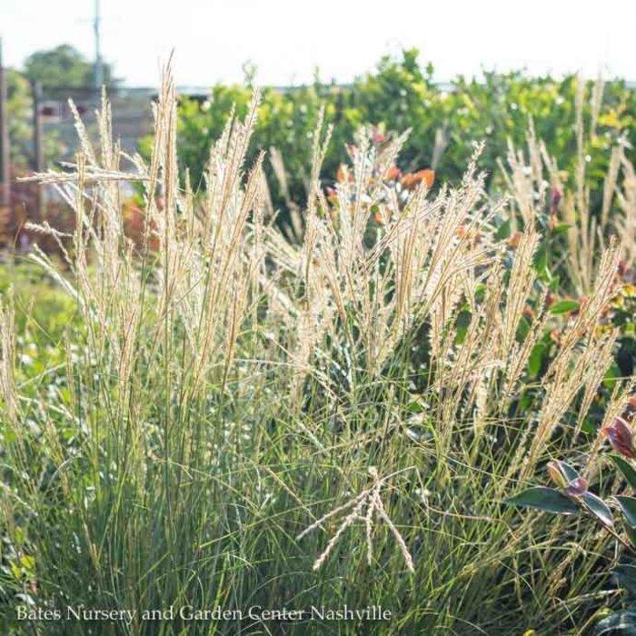 #1 Grass Miscanthus sine Yakushima/Dwarf Maiden