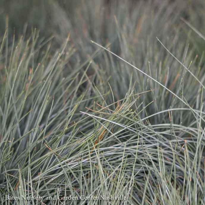 #1 Grass Festuca glauca Elijah Blue/Fescue