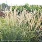 #2 Grass Miscanthus sine Yakushima/Dwarf Maiden