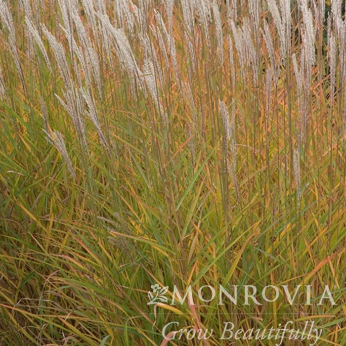 #1 Grass Miscanthus Purpurascens/Flame
