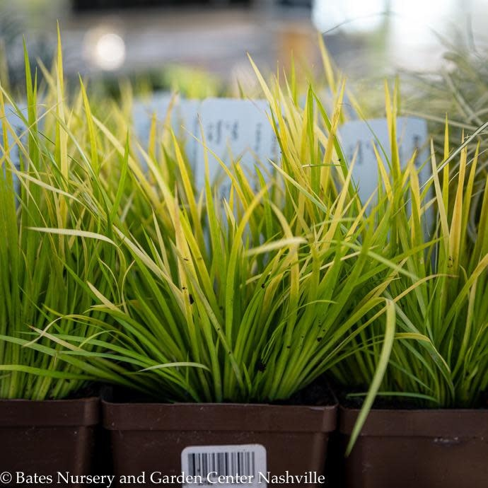 4.3p Grass Acorus gram Minimus Aureus/Dwarf Golden Sweet Flag