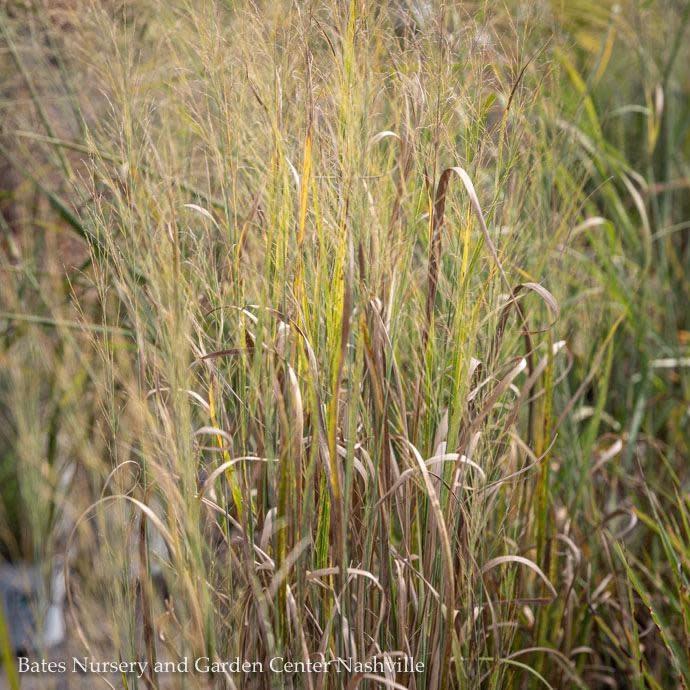 #5 Grass Panicum virg Northwind/Switch
