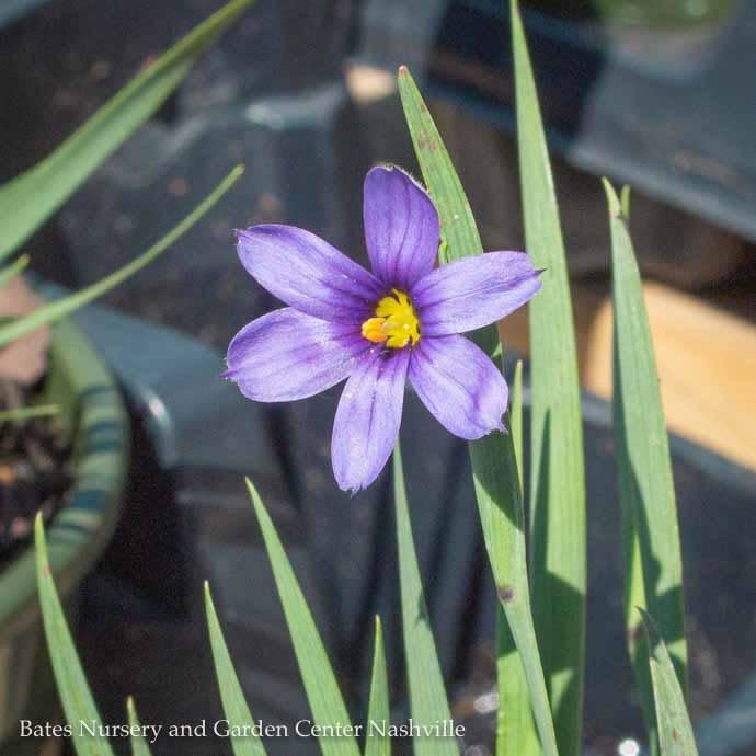QP Grass Sisyrinchium ang Lucerne/Blue Eyed