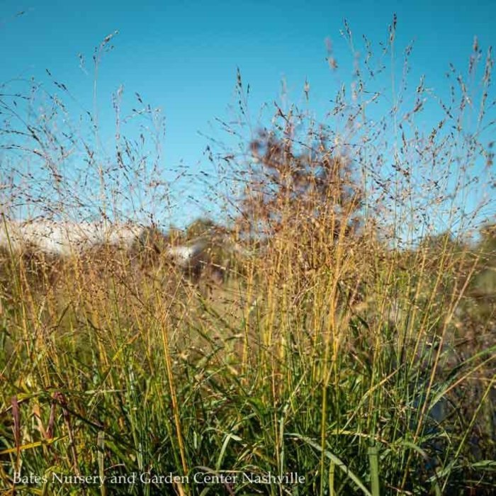 #1 Grass Panicum virg Shenandoah/Switch
