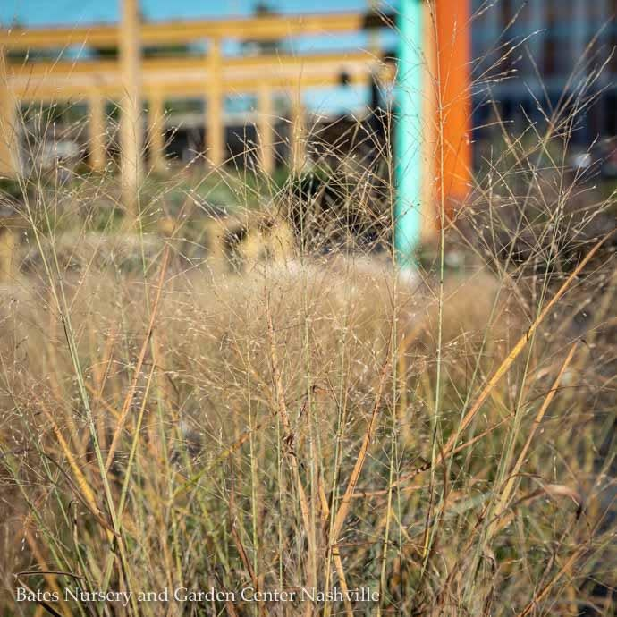 #3 Grass Panicum virg Cloud Nine/ Switch