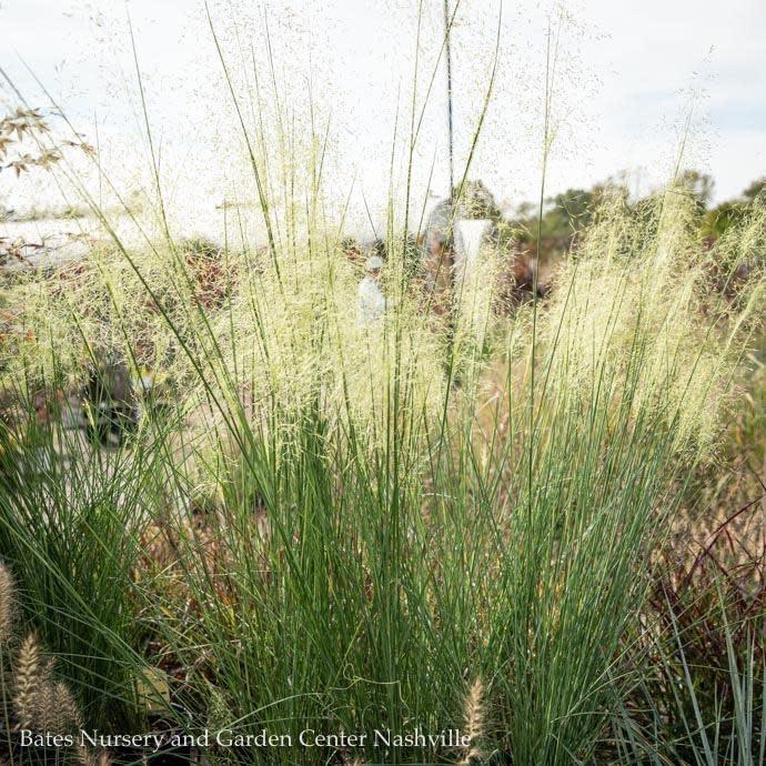 #1 Grass Muhlenbergia cap White Cloud/White Muhly