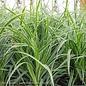 #1 Grass Carex morr Ice Dance/Japanese Sedge Variegated