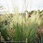 #3 Grass Muhlenbergia cap White Cloud/White Muhly