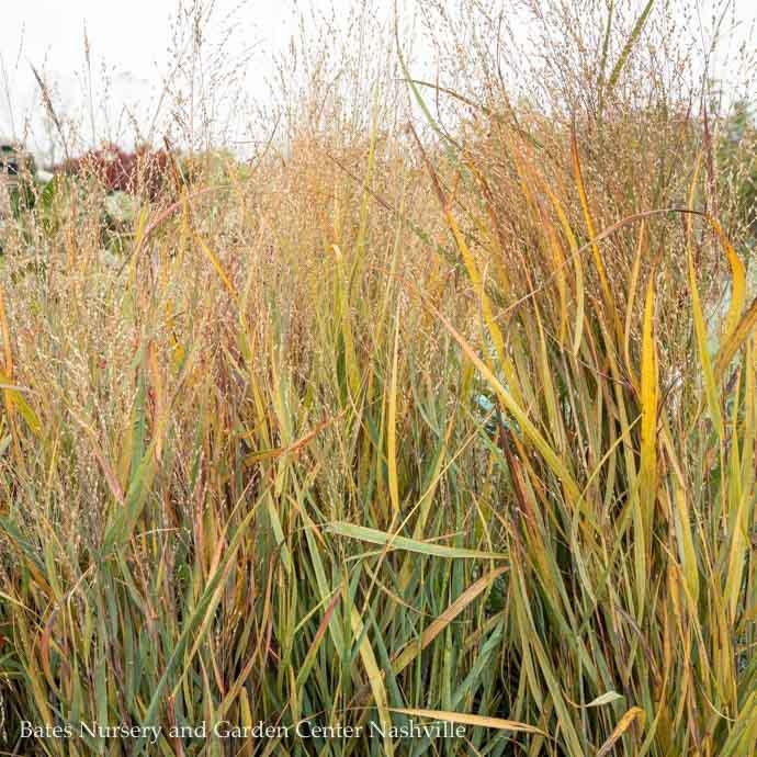 #1 Grass Panicum virg Prairie Winds Apache Rose/Switch