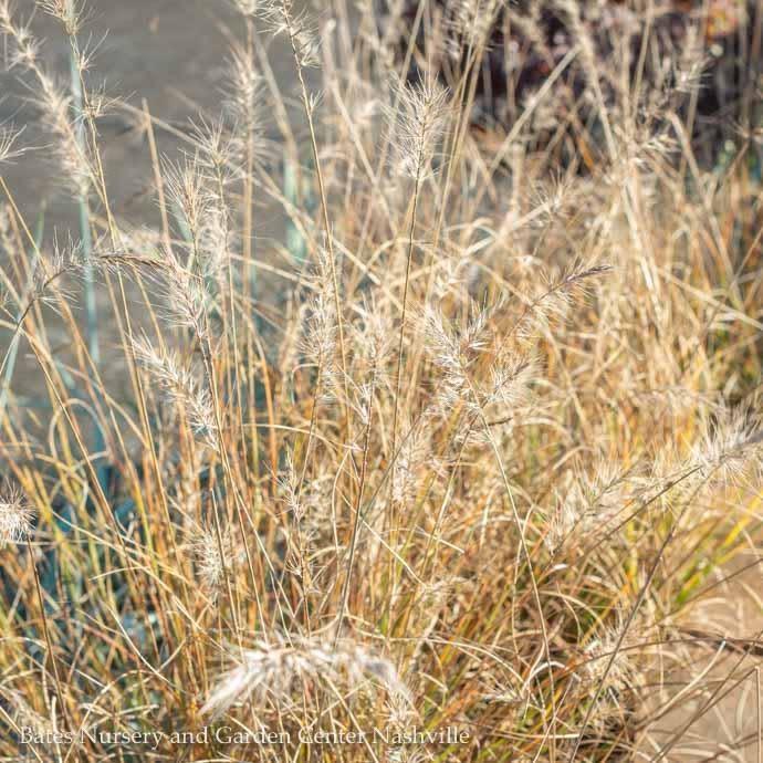 #1 Grass Pennisetum alop Piglet/Fountain Dwarf