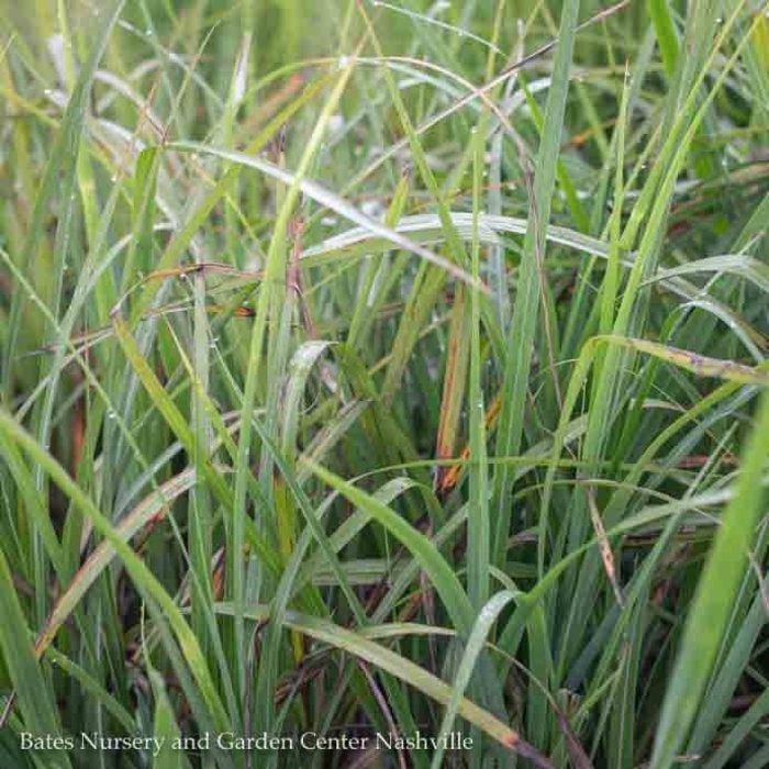 #1 Grass Miscanthus sine My Fair Maiden/Maiden