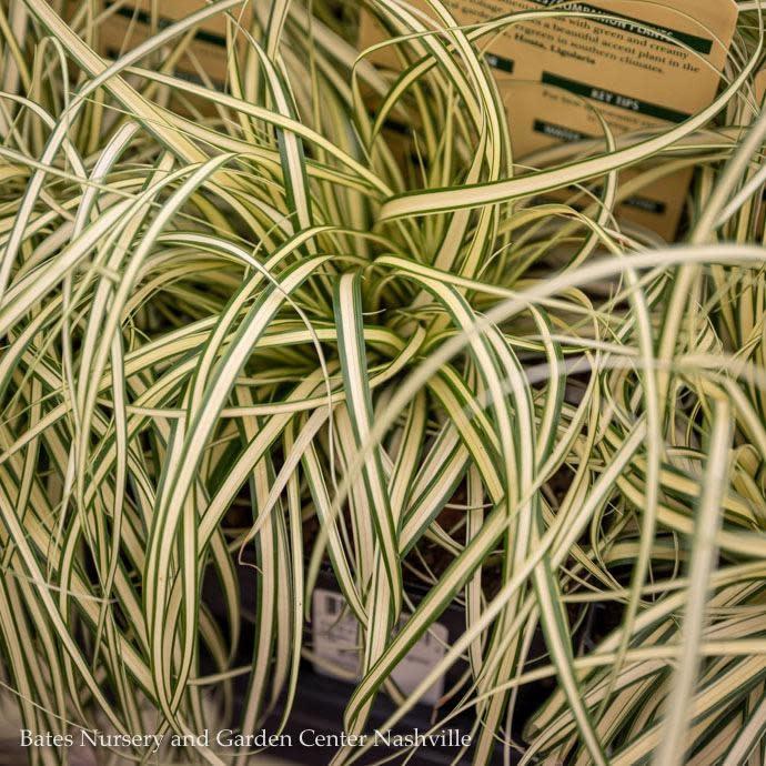 #1 Grass Carex osh Evergold/Sedge Variegated