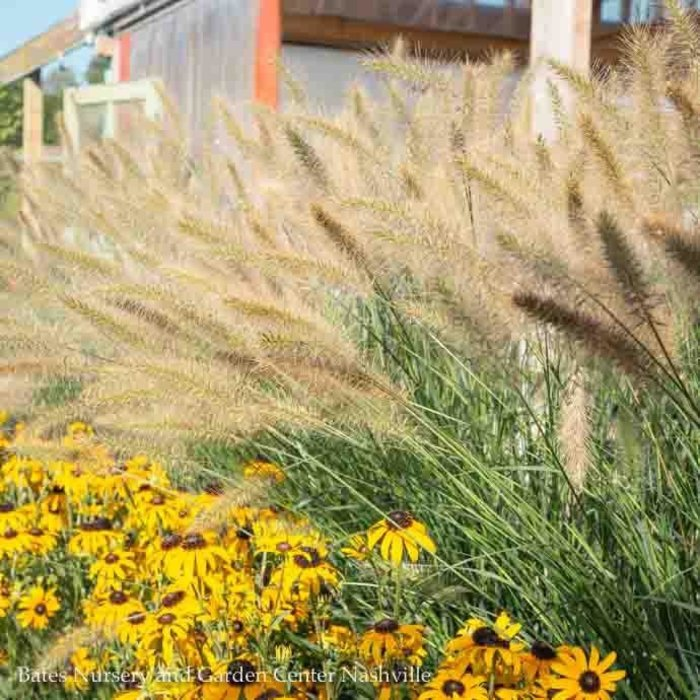 #1 Grass Pennisetum alop Cassian/Fountain Dwarf