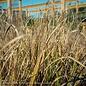 #1 Grass Pennisetum alop Red Head/Fountain
