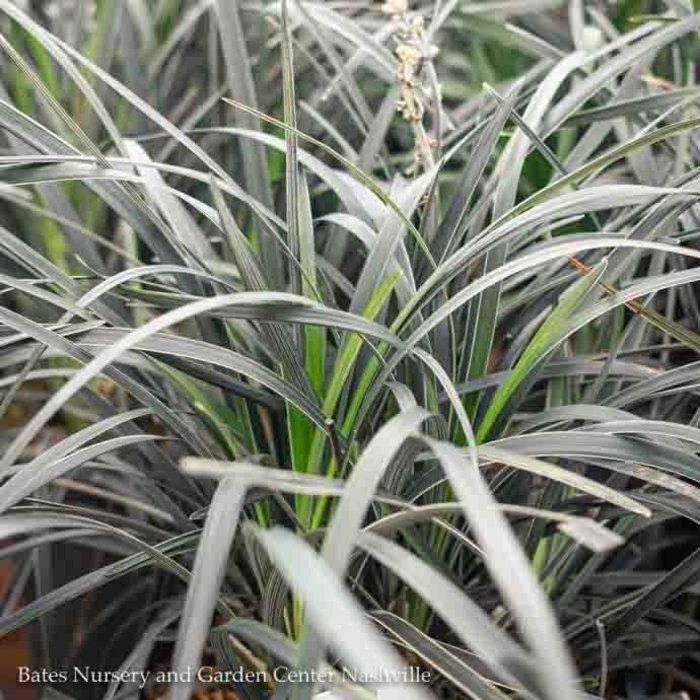 #1 Grass Ophiopogon plan Edge of Night/Black Mondo Variegated