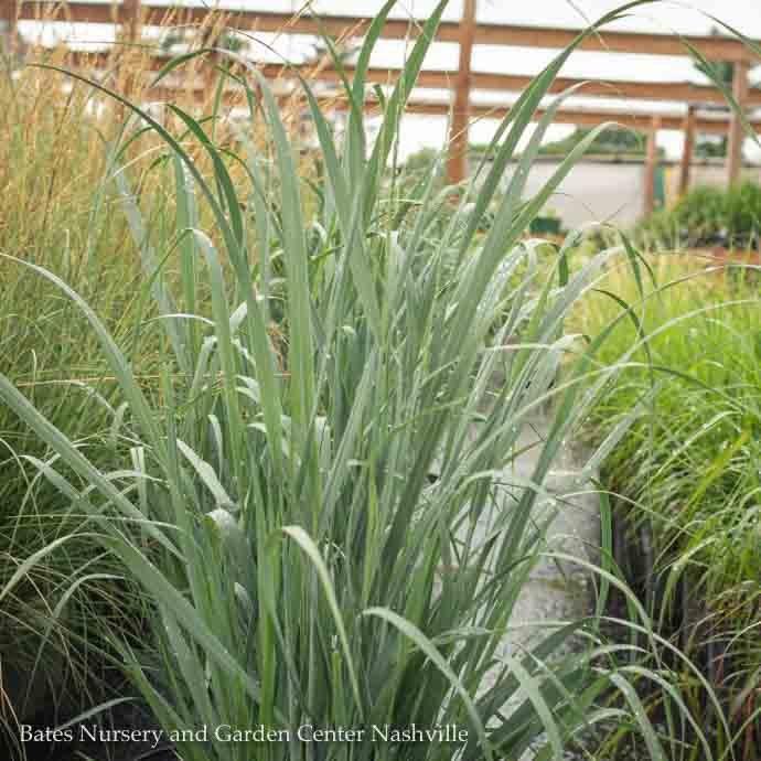 #3 Grass Panicum virg Totem Pole/Switch