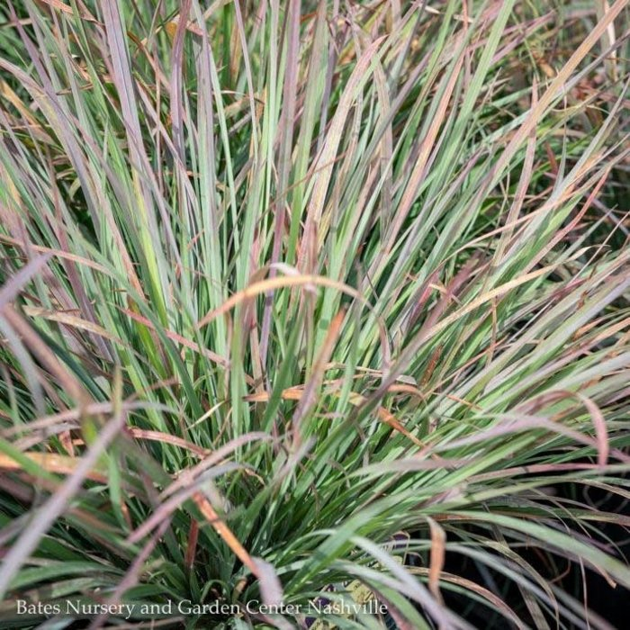#1 Grass Schizachyrium scop Standing Ovation/Little Bluestem