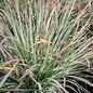 #1 Grass Schizachyrium scop Standing Ovation/Little Bluestem